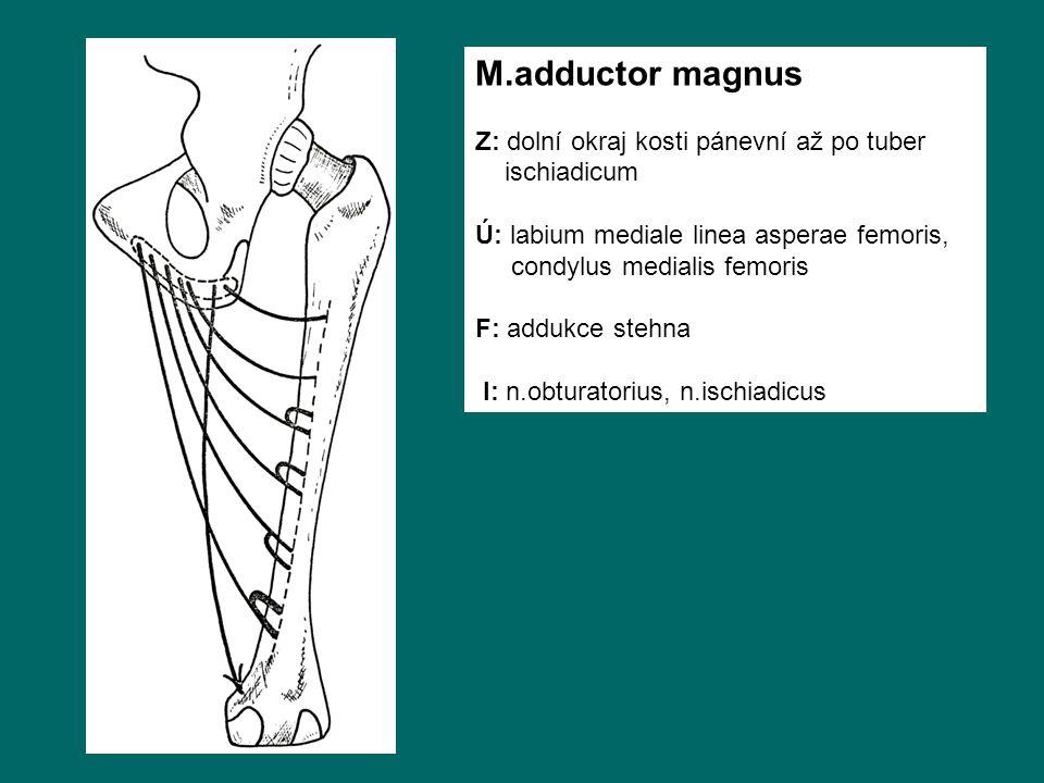 M.adductor magnus Z: dolní okraj kosti pánevní až po tuber ischiadicum Ú: labium mediale linea asperae femoris, condylus medialis femoris F: addukce stehna I: n.obturatorius, n.ischiadicus