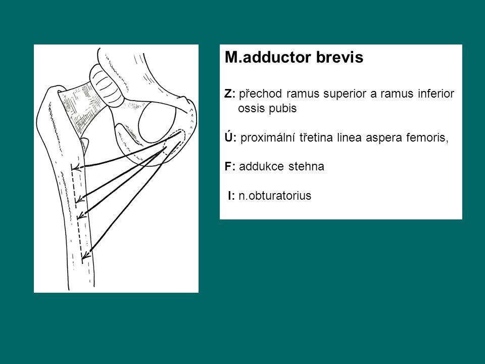 M.adductor brevis Z: přechod ramus superior a ramus inferior ossis pubis Ú: proximální třetina linea aspera femoris, F: addukce stehna I: n.obturatori
