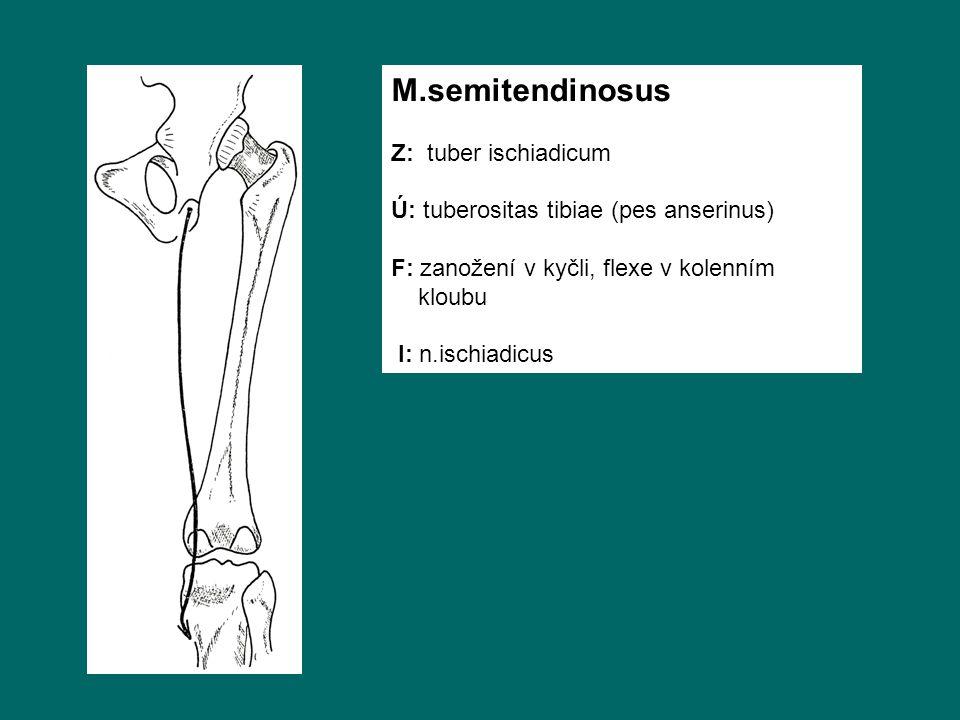 M.semitendinosus Z: tuber ischiadicum Ú: tuberositas tibiae (pes anserinus) F: zanožení v kyčli, flexe v kolenním kloubu I: n.ischiadicus