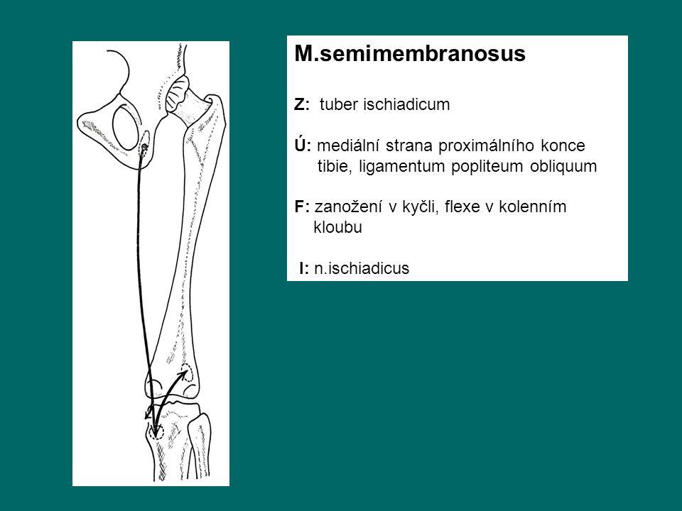 M.semimembranosus Z: tuber ischiadicum Ú: mediální strana proximálního konce tibie, ligamentum popliteum obliquum F: zanožení v kyčli, flexe v kolenním kloubu I: n.ischiadicus