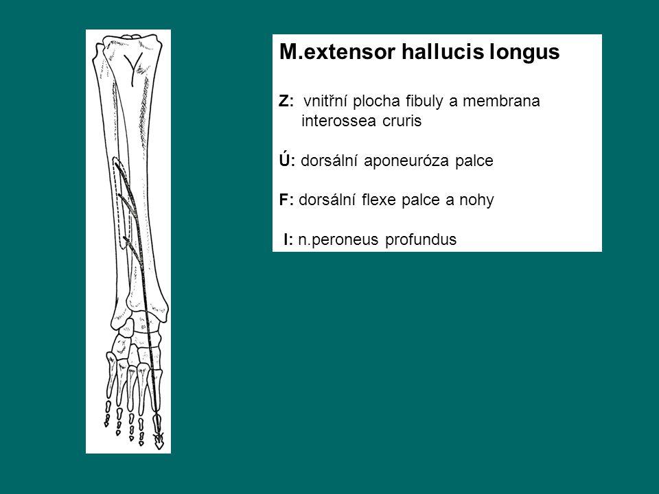 M.extensor hallucis longus Z: vnitřní plocha fibuly a membrana interossea cruris Ú: dorsální aponeuróza palce F: dorsální flexe palce a nohy I: n.peroneus profundus