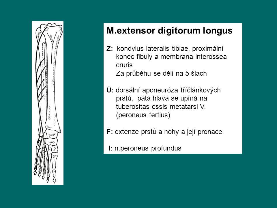 M.extensor digitorum longus Z: kondylus lateralis tibiae, proximální konec fibuly a membrana interossea cruris Za průběhu se dělí na 5 šlach Ú: dorsální aponeuróza tříčlánkových prstů, pátá hlava se upíná na tuberositas ossis metatarsi V.