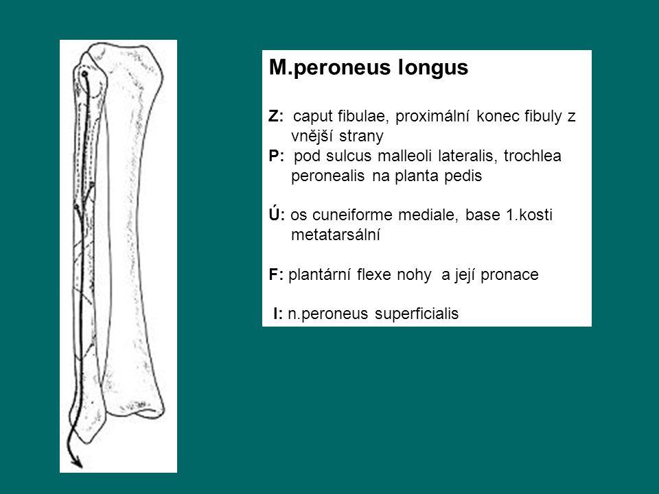 M.peroneus longus Z: caput fibulae, proximální konec fibuly z vnější strany P: pod sulcus malleoli lateralis, trochlea peronealis na planta pedis Ú: os cuneiforme mediale, base 1.kosti metatarsální F: plantární flexe nohy a její pronace I: n.peroneus superficialis