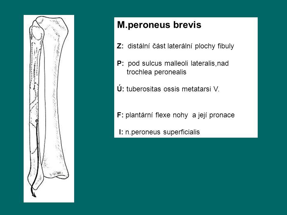 M.peroneus brevis Z: distální část laterální plochy fibuly P: pod sulcus malleoli lateralis,nad trochlea peronealis Ú: tuberositas ossis metatarsi V.