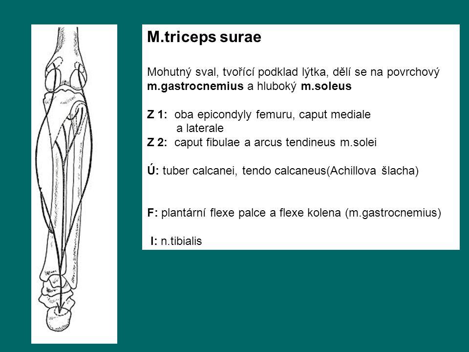 M.triceps surae Mohutný sval, tvořící podklad lýtka, dělí se na povrchový m.gastrocnemius a hluboký m.soleus Z 1: oba epicondyly femuru, caput mediale a laterale Z 2: caput fibulae a arcus tendineus m.solei Ú: tuber calcanei, tendo calcaneus(Achillova šlacha) F: plantární flexe palce a flexe kolena (m.gastrocnemius) I: n.tibialis