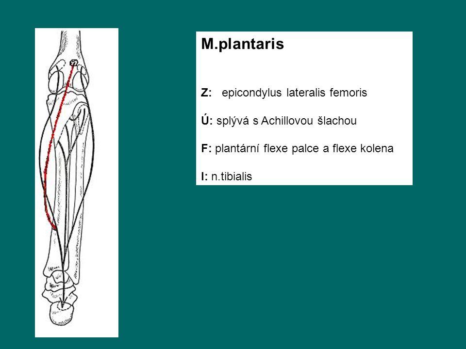 M.plantaris Z: epicondylus lateralis femoris Ú: splývá s Achillovou šlachou F: plantární flexe palce a flexe kolena I: n.tibialis