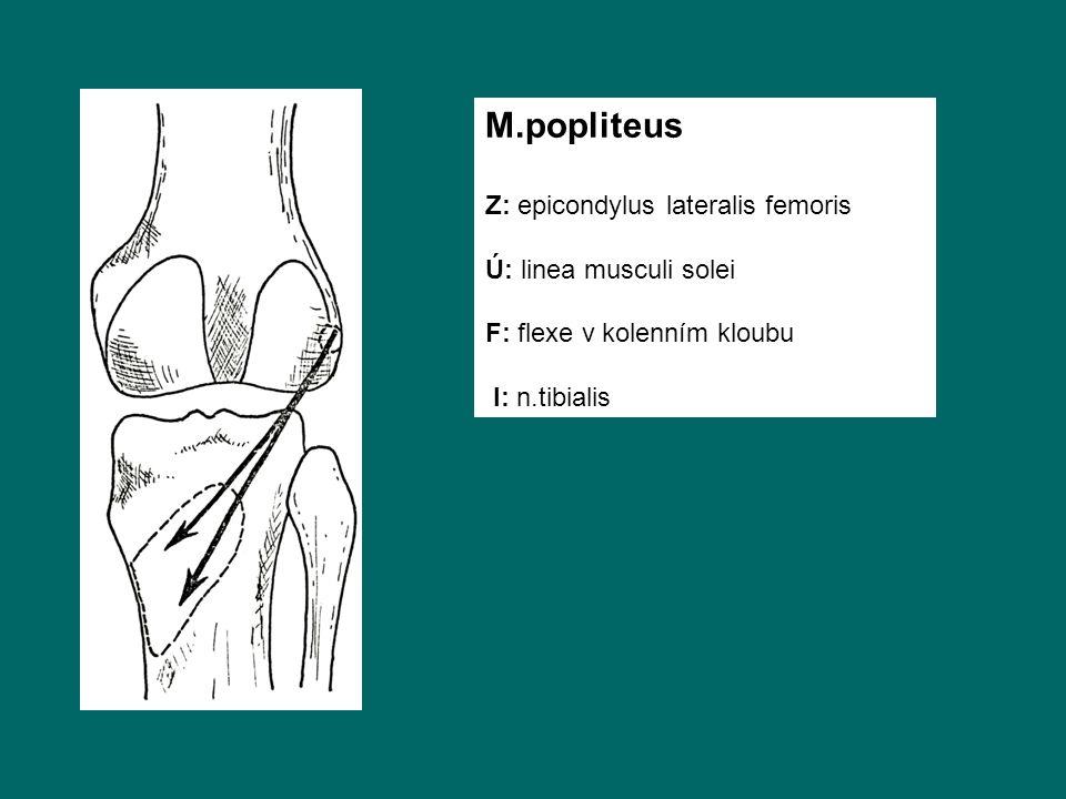 M.popliteus Z: epicondylus lateralis femoris Ú: linea musculi solei F: flexe v kolenním kloubu I: n.tibialis