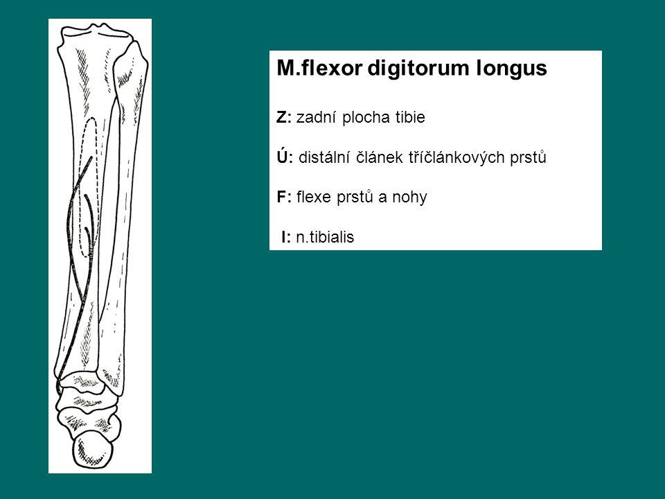 M.flexor digitorum longus Z: zadní plocha tibie Ú: distální článek tříčlánkových prstů F: flexe prstů a nohy I: n.tibialis