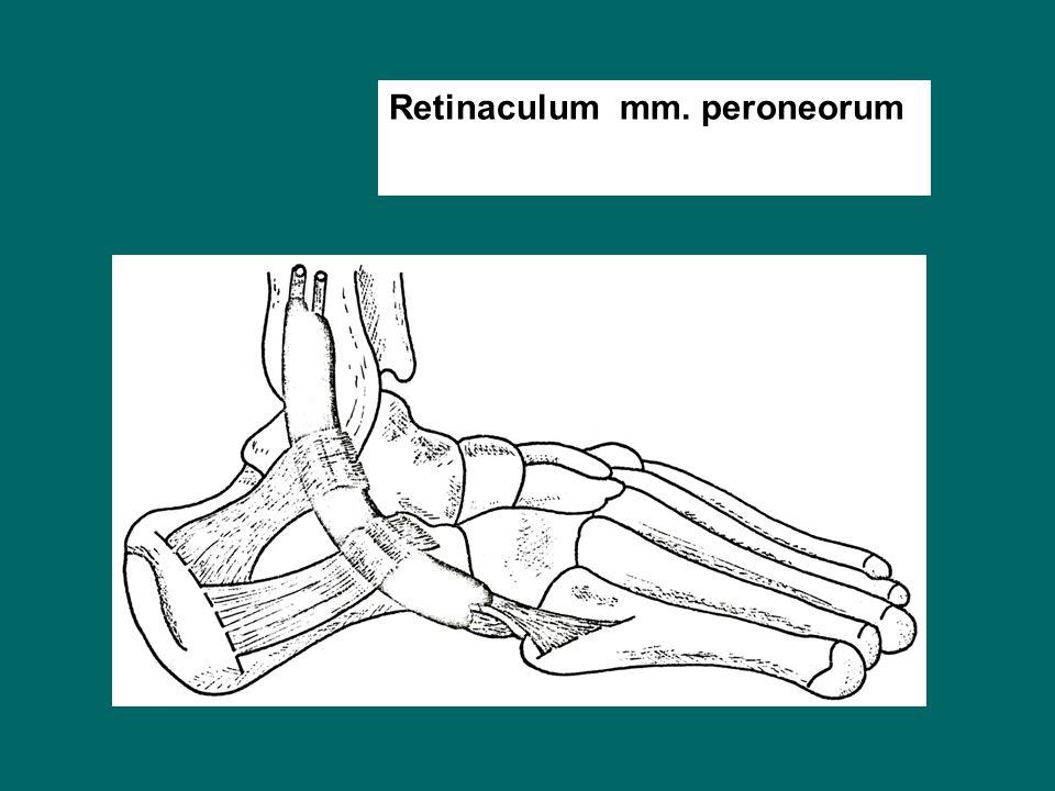 Retinaculum mm. peroneorum