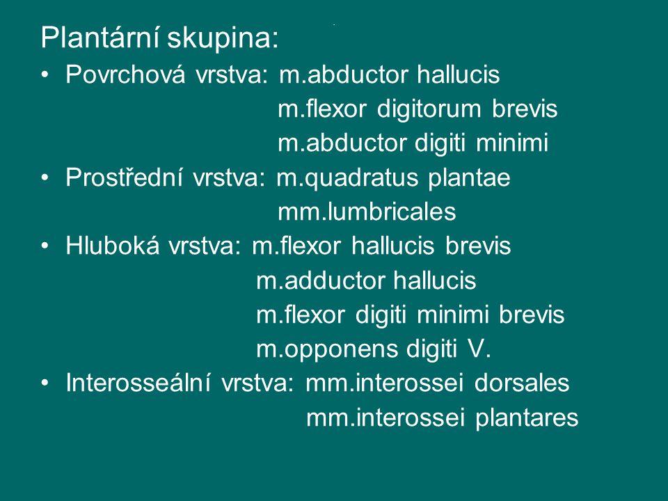 Plantární skupina: Povrchová vrstva: m.abductor hallucis m.flexor digitorum brevis m.abductor digiti minimi Prostřední vrstva: m.quadratus plantae mm.lumbricales Hluboká vrstva: m.flexor hallucis brevis m.adductor hallucis m.flexor digiti minimi brevis m.opponens digiti V.