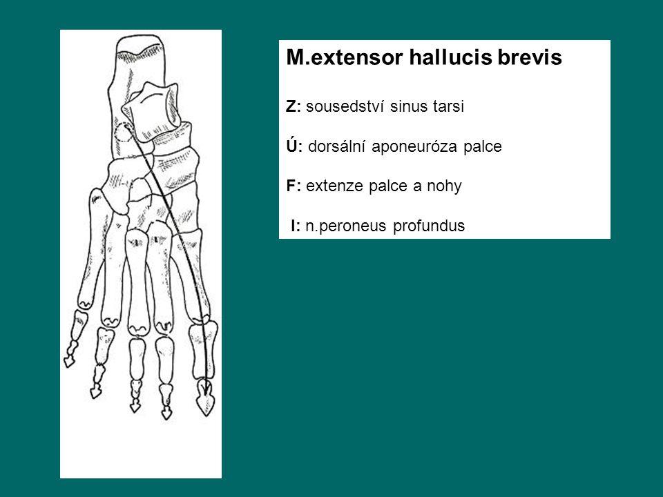 M.extensor hallucis brevis Z: sousedství sinus tarsi Ú: dorsální aponeuróza palce F: extenze palce a nohy I: n.peroneus profundus