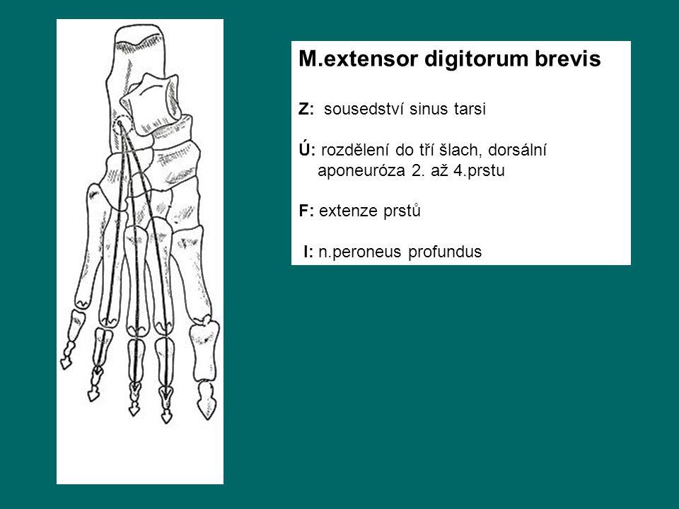 M.extensor digitorum brevis Z: sousedství sinus tarsi Ú: rozdělení do tří šlach, dorsální aponeuróza 2.