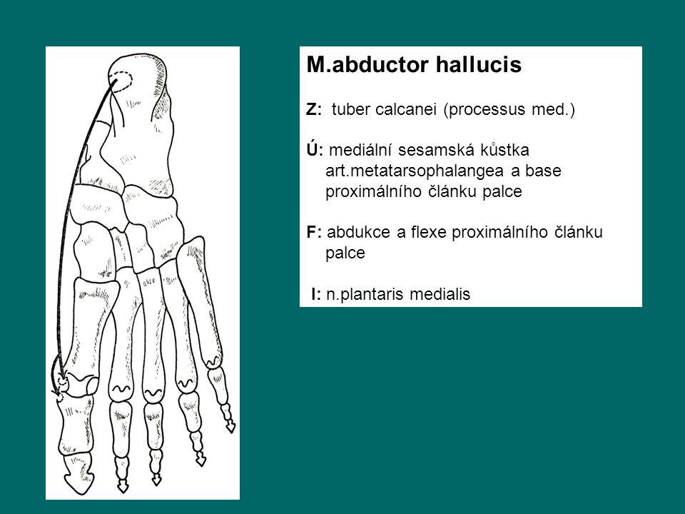 M.abductor hallucis Z: tuber calcanei (processus med.) Ú: mediální sesamská kůstka art.metatarsophalangea a base proximálního článku palce F: abdukce a flexe proximálního článku palce I: n.plantaris medialis