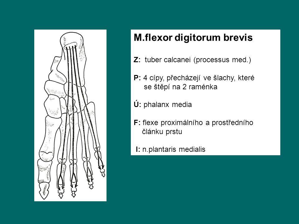 M.flexor digitorum brevis Z: tuber calcanei (processus med.) P: 4 cípy, přecházejí ve šlachy, které se štěpí na 2 raménka Ú: phalanx media F: flexe proximálního a prostředního článku prstu I: n.plantaris medialis