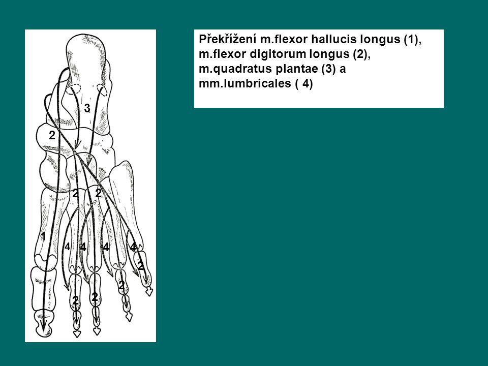 Překřížení m.flexor hallucis longus (1), m.flexor digitorum longus (2), m.quadratus plantae (3) a mm.lumbricales ( 4) 1 2 3 4 4 44 22 2 2 2 2
