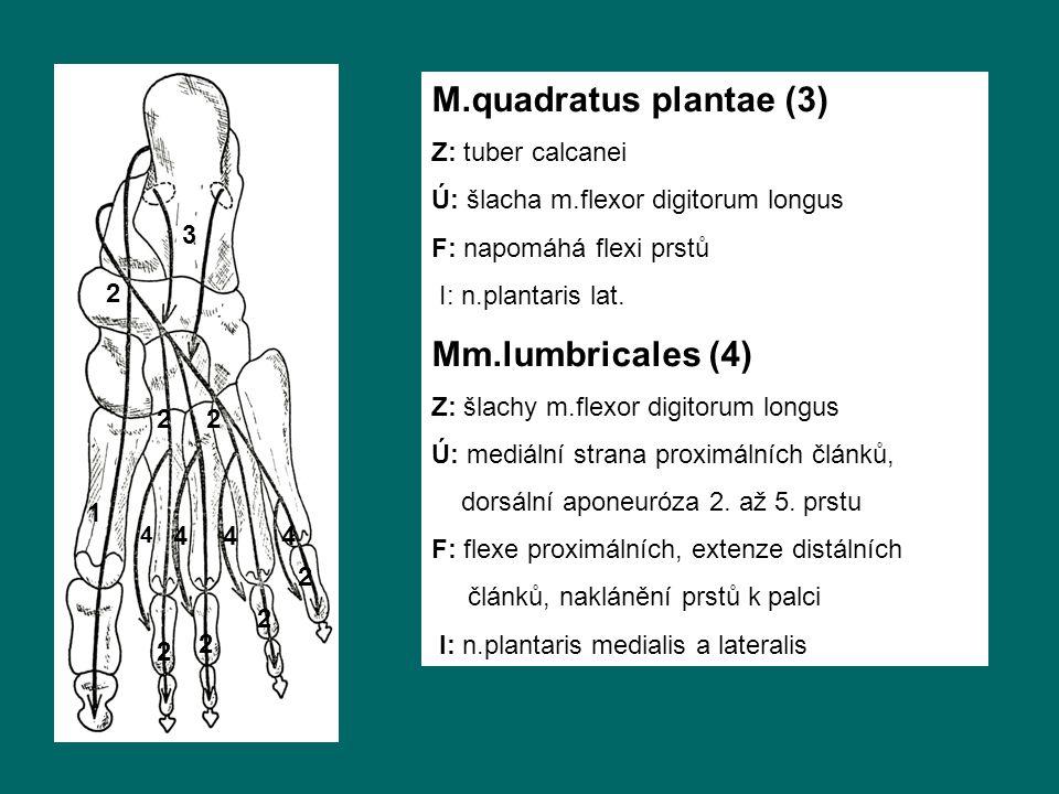 1 2 3 4 4 44 22 2 2 2 2 M.quadratus plantae (3) Z: tuber calcanei Ú: šlacha m.flexor digitorum longus F: napomáhá flexi prstů I: n.plantaris lat.