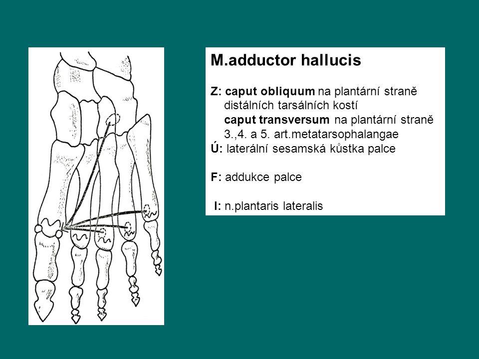 M.adductor hallucis Z: caput obliquum na plantární straně distálních tarsálních kostí caput transversum na plantární straně 3.,4.