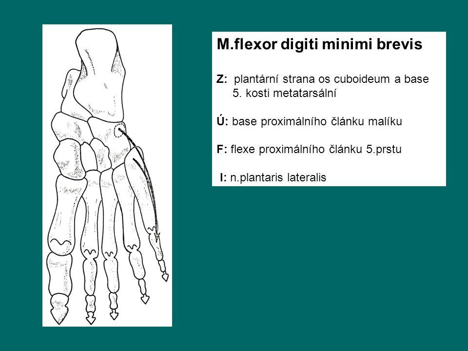M.flexor digiti minimi brevis Z: plantární strana os cuboideum a base 5. kosti metatarsální Ú: base proximálního článku malíku F: flexe proximálního č