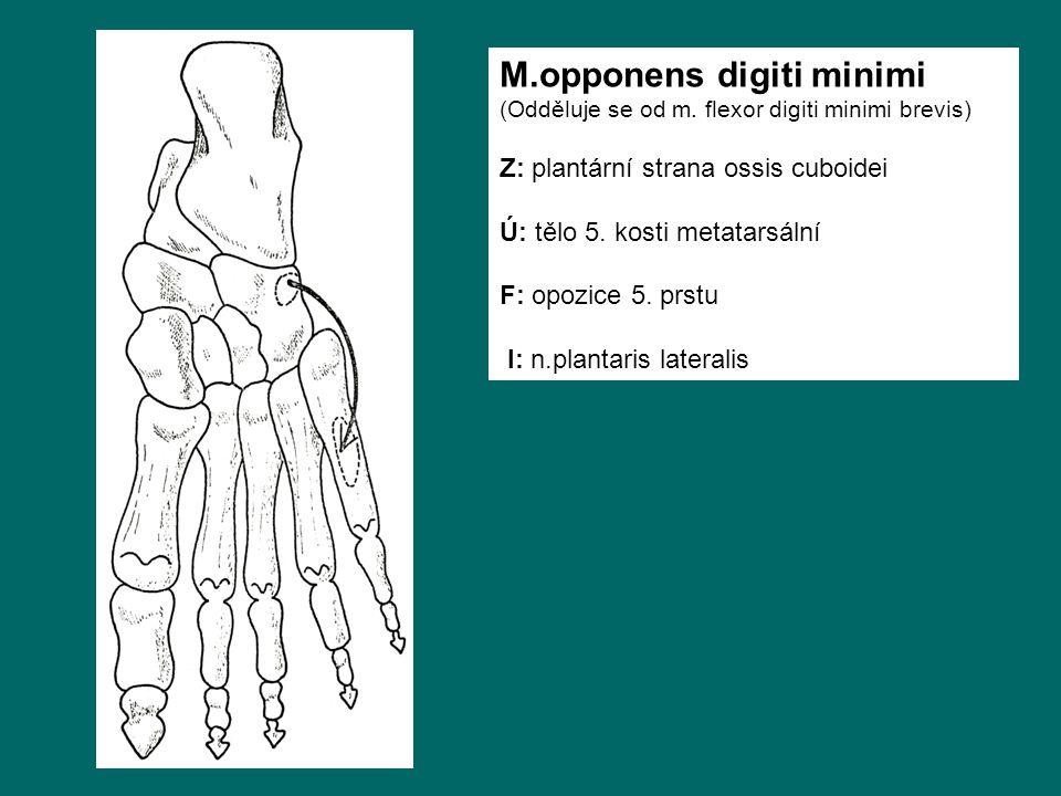 M.opponens digiti minimi (Odděluje se od m. flexor digiti minimi brevis) Z: plantární strana ossis cuboidei Ú: tělo 5. kosti metatarsální F: opozice 5