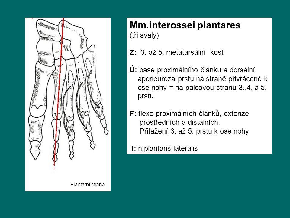 Mm.interossei plantares (tři svaly) Z: 3. až 5. metatarsální kost Ú: base proximálního článku a dorsální aponeuróza prstu na straně přivrácené k ose n