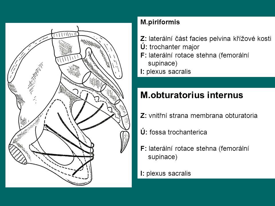 M.obturatorius internus Z: vnitřní strana membrana obturatoria Ú: fossa trochanterica F: laterální rotace stehna (femorální supinace) I: plexus sacralis M.piriformis Z: laterální část facies pelvina křížové kosti Ú: trochanter major F: laterální rotace stehna (femorální supinace) I: plexus sacralis