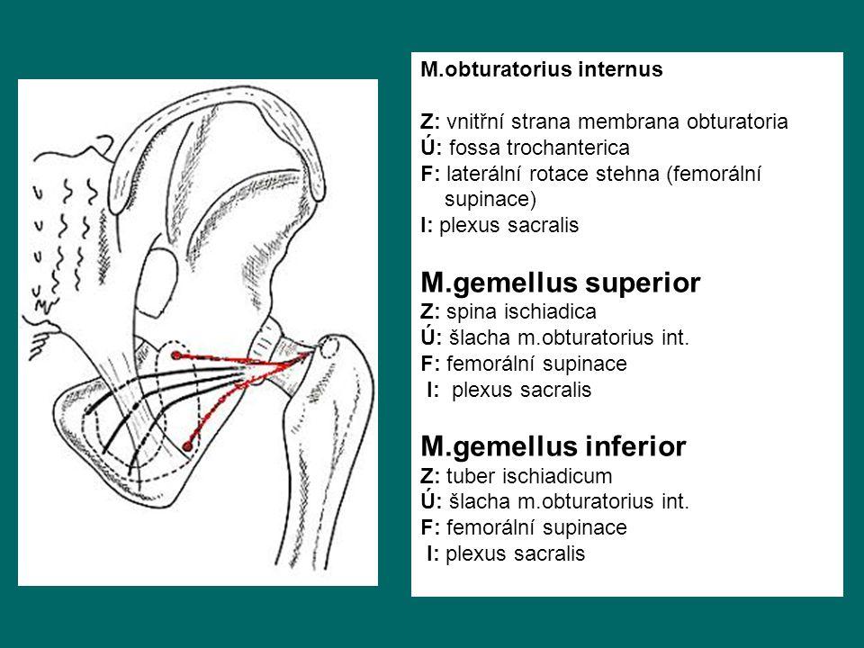 M.obturatorius internus Z: vnitřní strana membrana obturatoria Ú: fossa trochanterica F: laterální rotace stehna (femorální supinace) I: plexus sacralis M.gemellus superior Z: spina ischiadica Ú: šlacha m.obturatorius int.