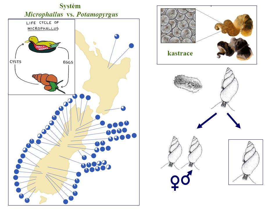 Systém Microphallus vs. Potamopyrgus kastrace
