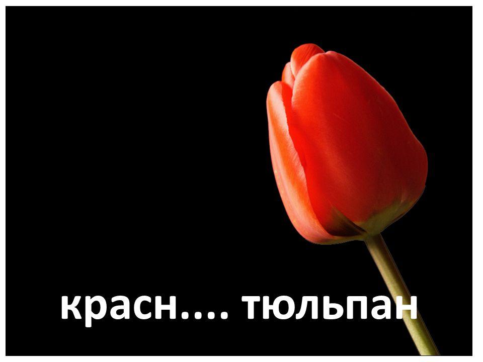 красн.... тюльпан