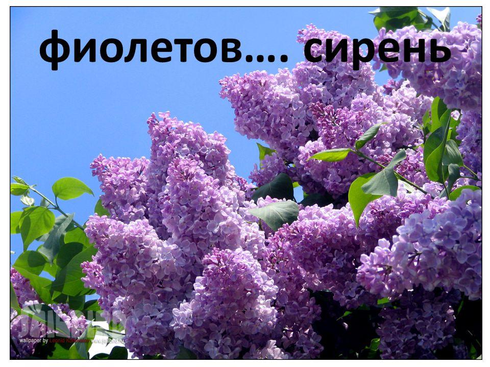 фиолетов…. сирень