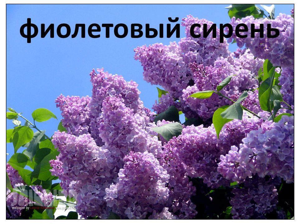 фиолетовый сирень
