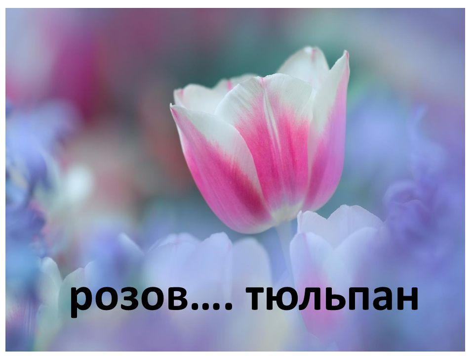 розов…. тюльпан