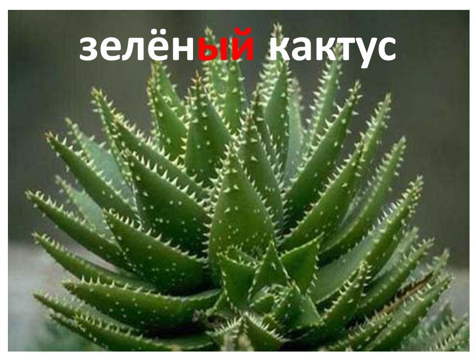 зелёный кактус