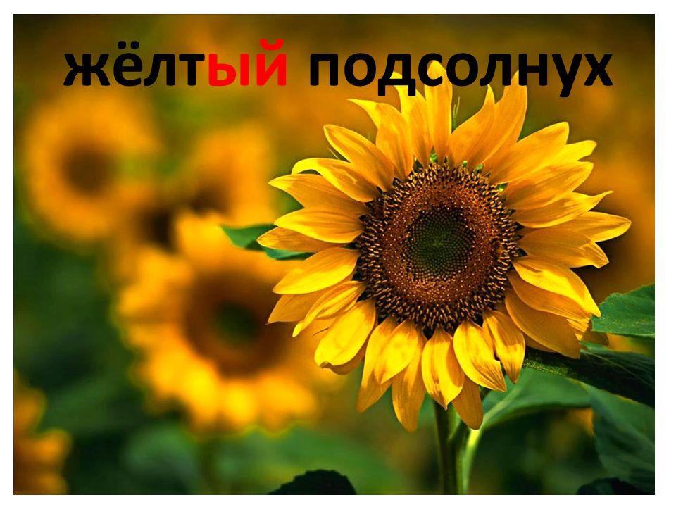 жёлтый подсолнух