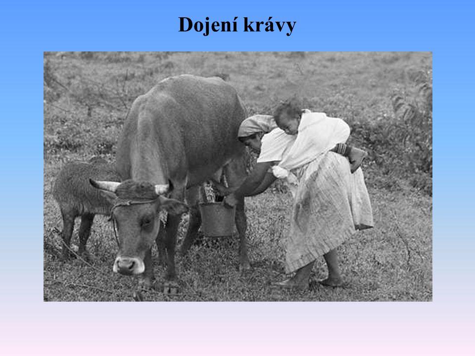 Dojení krávy