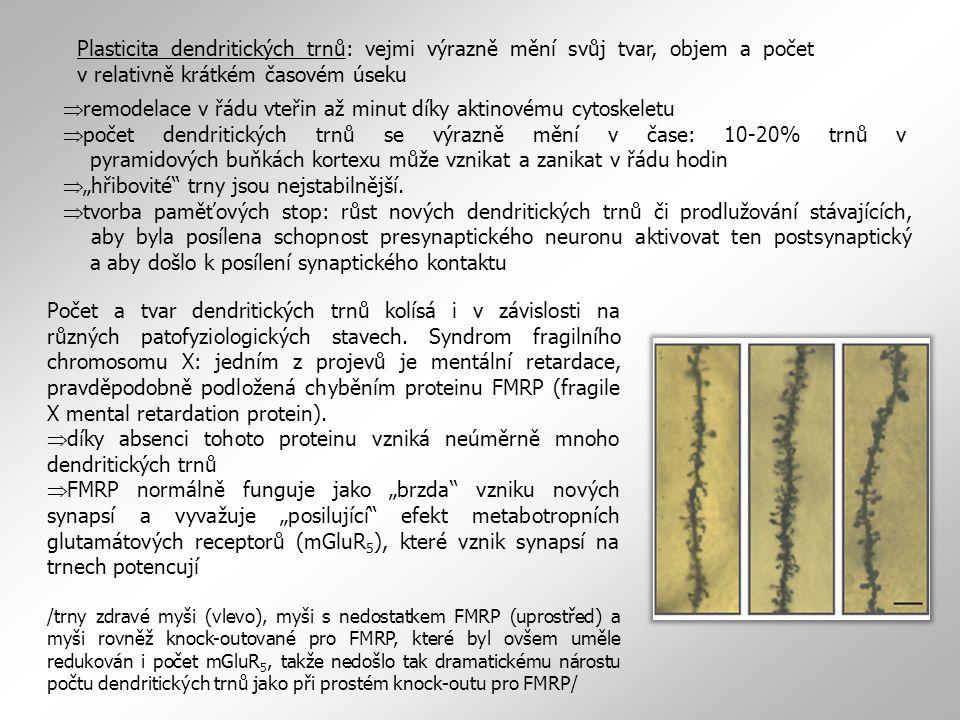 """Plasticita dendritických trnů: vejmi výrazně mění svůj tvar, objem a počet v relativně krátkém časovém úseku  remodelace v řádu vteřin až minut díky aktinovému cytoskeletu  počet dendritických trnů se výrazně mění v čase: 10-20% trnů v pyramidových buňkách kortexu může vznikat a zanikat v řádu hodin  """"hřibovité trny jsou nejstabilnější."""