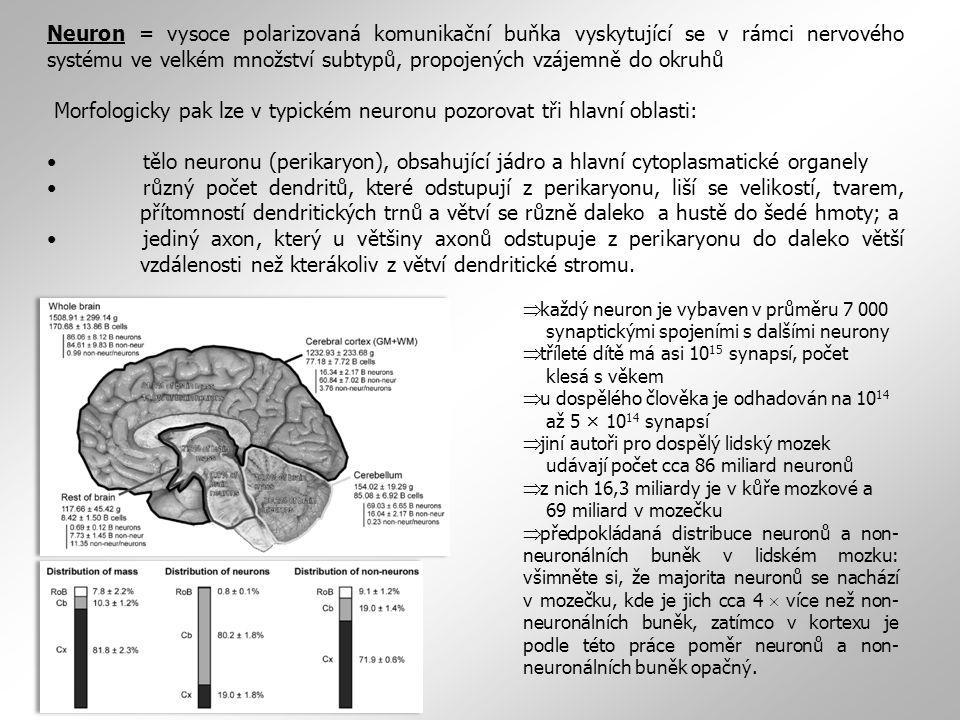 Neuron = vysoce polarizovaná komunikační buňka vyskytující se v rámci nervového systému ve velkém množství subtypů, propojených vzájemně do okruhů Morfologicky pak lze v typickém neuronu pozorovat tři hlavní oblasti: tělo neuronu (perikaryon), obsahující jádro a hlavní cytoplasmatické organely různý počet dendritů, které odstupují z perikaryonu, liší se velikostí, tvarem, přítomností dendritických trnů a větví se různě daleko a hustě do šedé hmoty; a jediný axon, který u většiny axonů odstupuje z perikaryonu do daleko větší vzdálenosti než kterákoliv z větví dendritické stromu.