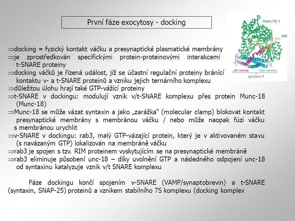 """ docking = fyzický kontakt váčku a presynaptické plasmatické membrány  je zprostředkován specifickými protein-proteinovými interakcemi mezi v- a t-SNARE proteiny  docking váčků je řízená událost, jíž se účastní regulační proteiny bránící předčasnému kontaktu v- a t-SNARE proteinů a vzniku jejich ternárního komplexu  důležitou úlohu hrají také GTP-vážící proteiny  t-SNARE v dockingu: modulují vznik v/t-SNARE komplexu přes protein Munc-18 (Munc-18)  Munc-18 se může vázat syntaxin a jako """"zarážka (molecular clamp) blokovat kontakt presynaptické membrány s membránou váčku / nebo může naopak fúzi váčku s membránou urychlit  v-SNARE v dockingu: rab3, malý GTP-vázající protein, který je v aktivovaném stavu (s navázaným GTP) lokalizován na membráně váčku  rab3 je spojen s tzv."""