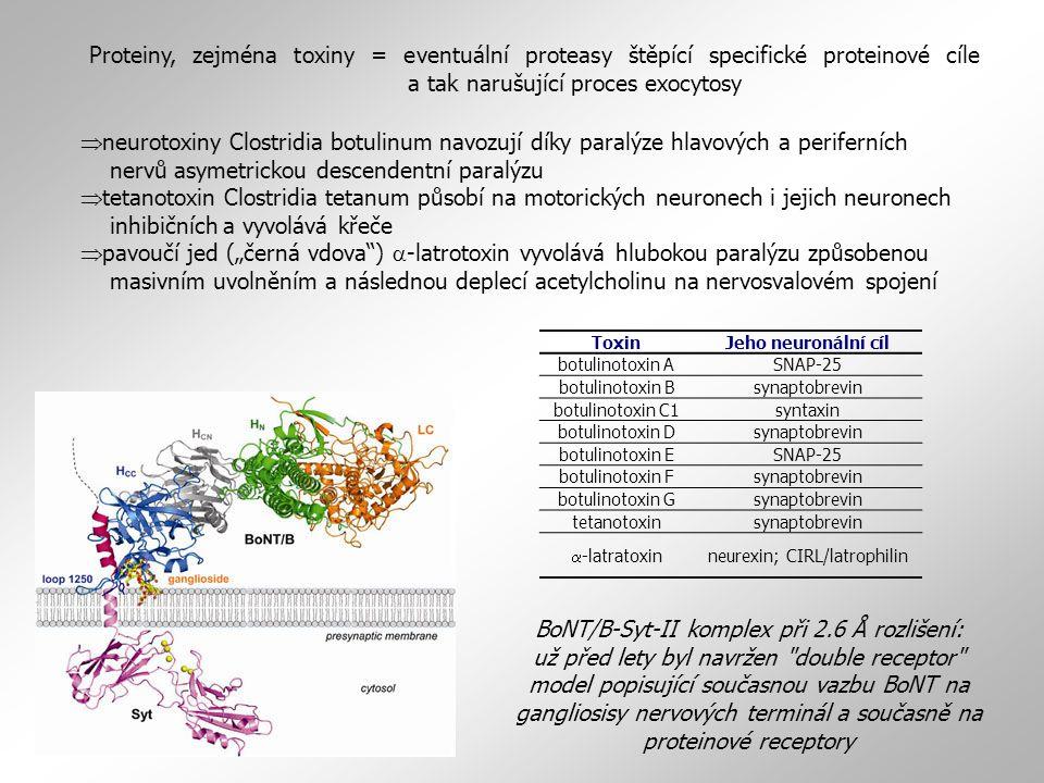 """BoNT/B-Syt-II komplex při 2.6 Å rozlišení: už před lety byl navržen double receptor model popisující současnou vazbu BoNT na gangliosisy nervových terminál a současně na proteinové receptory ToxinJeho neuronální cíl botulinotoxin ASNAP-25 botulinotoxin Bsynaptobrevin botulinotoxin C1syntaxin botulinotoxin Dsynaptobrevin botulinotoxin ESNAP-25 botulinotoxin Fsynaptobrevin botulinotoxin Gsynaptobrevin tetanotoxinsynaptobrevin  -latratoxin neurexin; CIRL/latrophilin Proteiny, zejména toxiny = eventuální proteasy štěpící specifické proteinové cíle a tak narušující proces exocytosy  neurotoxiny Clostridia botulinum navozují díky paralýze hlavových a periferních nervů asymetrickou descendentní paralýzu  tetanotoxin Clostridia tetanum působí na motorických neuronech i jejich neuronech inhibičních a vyvolává křeče  pavoučí jed (""""černá vdova )  -latrotoxin vyvolává hlubokou paralýzu způsobenou masivním uvolněním a následnou deplecí acetylcholinu na nervosvalovém spojení"""