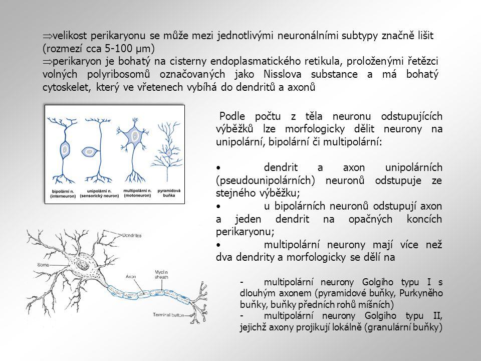  velikost perikaryonu se může mezi jednotlivými neuronálními subtypy značně lišit (rozmezí cca 5-100 µm)  perikaryon je bohatý na cisterny endoplasmatického retikula, proloženými řetězci volných polyribosomů označovaných jako Nisslova substance a má bohatý cytoskelet, který ve vřetenech vybíhá do dendritů a axonů Podle počtu z těla neuronu odstupujících výběžků lze morfologicky dělit neurony na unipolární, bipolární či multipolární: dendrit a axon unipolárních (pseudounipolárních) neuronů odstupuje ze stejného výběžku; u bipolárních neuronů odstupují axon a jeden dendrit na opačných koncích perikaryonu; multipolární neurony mají více než dva dendrity a morfologicky se dělí na -multipolární neurony Golgiho typu I s dlouhým axonem (pyramidové buňky, Purkyněho buňky, buňky předních rohů míšních) -multipolární neurony Golgiho typu II, jejichž axony projikují lokálně (granulární buňky)
