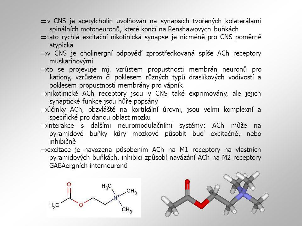  v CNS je acetylcholin uvolňován na synapsích tvořených kolaterálami spinálních motoneuronů, které končí na Renshawových buňkách  tato rychlá excitační nikotinická synapse je nicméně pro CNS poměrně atypická  v CNS je cholinergní odpověď zprostředkovaná spíše ACh receptory muskarinovými  to se projevuje mj.