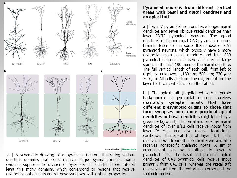 """Dendritické trny - malé membránové protruze odstupující z mnoha typů neuronů  dostávají zejména excitační synaptické vstupy určené jejich neuronu, ale mohou na hlavičce obsahovat i aditivní synaptické vstupy  mohou strukturálně obklopovat a biochemicky izolovat danou synapsi; takto """"informačně nejoddělenější jsou dlouhé, tenké dendritické trny  dendritické trny se nacházejí na všech hlavních neuronálních typech v CNS (kortikální neurony, Purkyněho buňky atd.)  dendrity jednoho neuronu mohou souhrnně obsahovat stovky až tisíce trnů  typické hustota trnů může dosahovat až 20 trnů na10 µm délky dendritu  dendritické trny kortikálních neuronů mohou obsahovat až desítky tisíc synapsí, Purkyněho buňky i o řád více  průměrný počet dendritických trnů na jedné dendritické větvi byl stanoven na 61 000 Trny jsou útvary složené z """"hlavičky a nožky, která je spojuje s dendritem."""