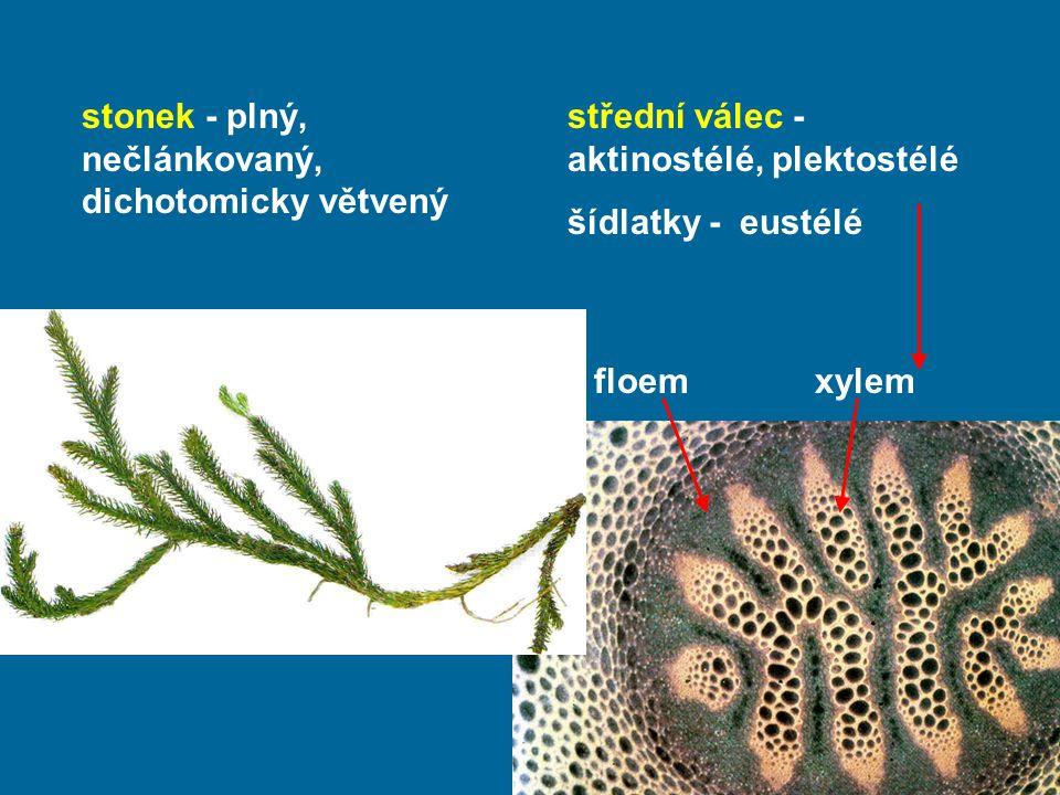 stonek - plný, nečlánkovaný, dichotomicky větvený střední válec - aktinostélé, plektostélé šídlatky - eustélé floem xylem