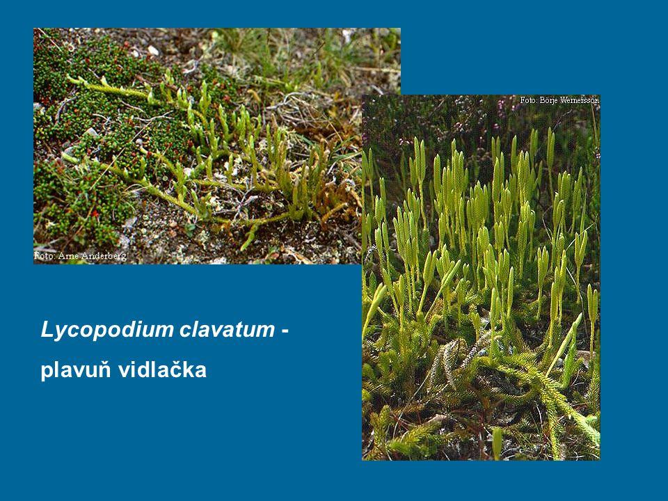 Lycopodium clavatum - plavuň vidlačka