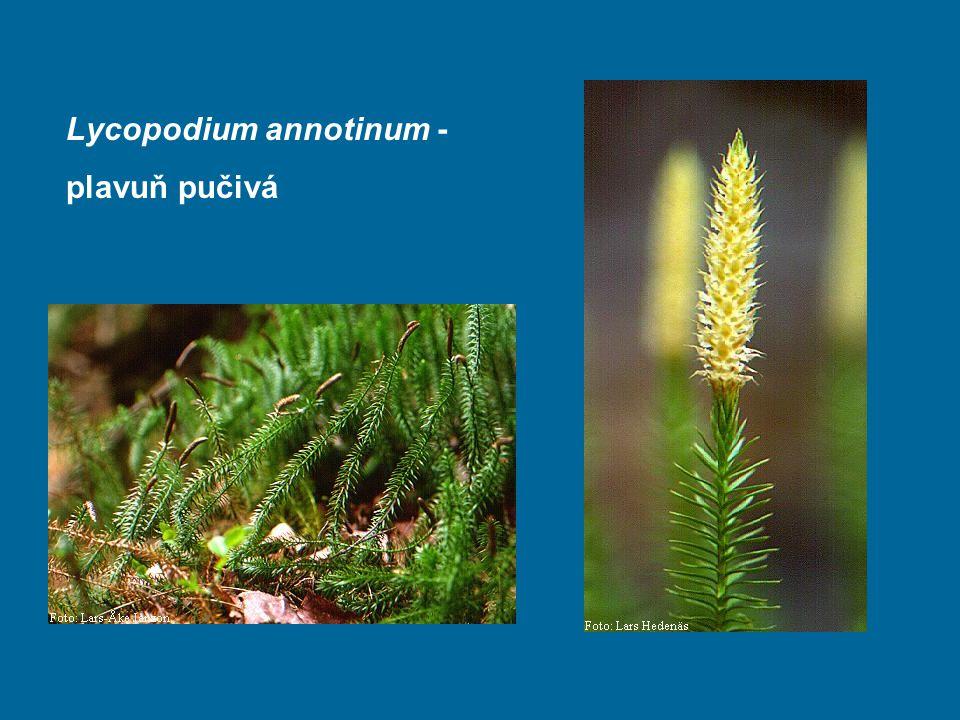 Lycopodium annotinum - plavuň pučivá