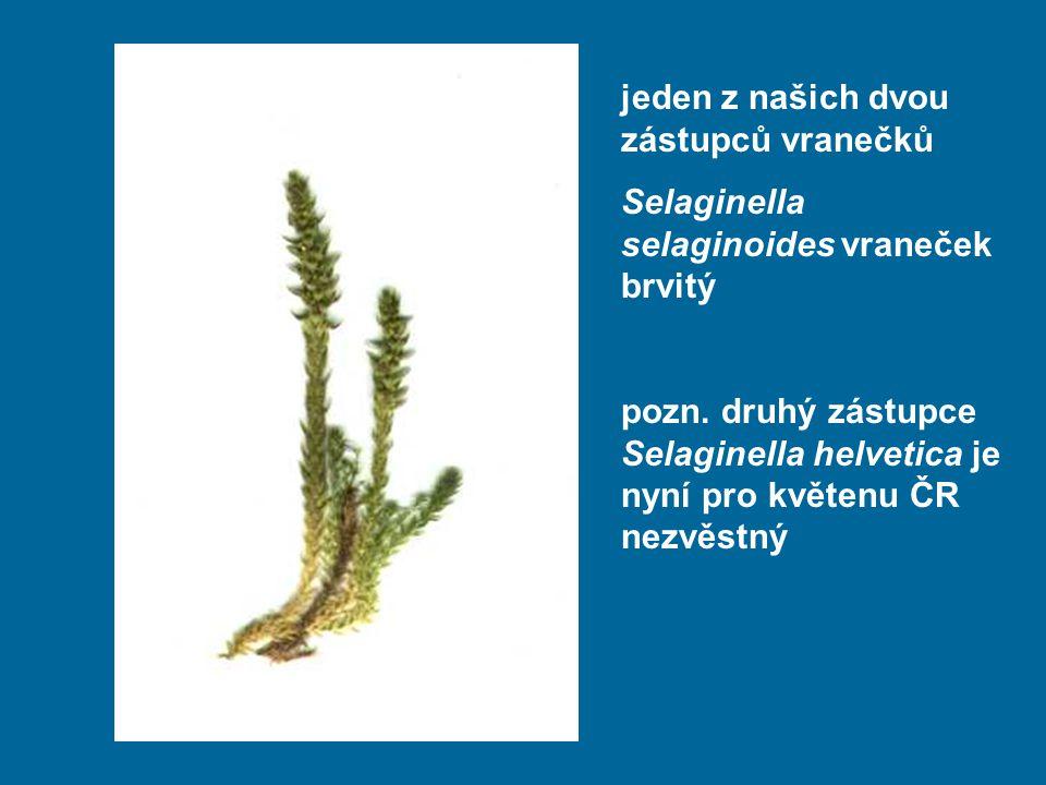 jeden z našich dvou zástupců vranečků Selaginella selaginoides vraneček brvitý pozn. druhý zástupce Selaginella helvetica je nyní pro květenu ČR nezvě