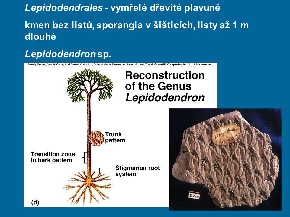 Lepidodendrales - vymřelé dřevité plavuně kmen bez listů, sporangia v šišticích, listy až 1 m dlouhé Lepidodendron sp.