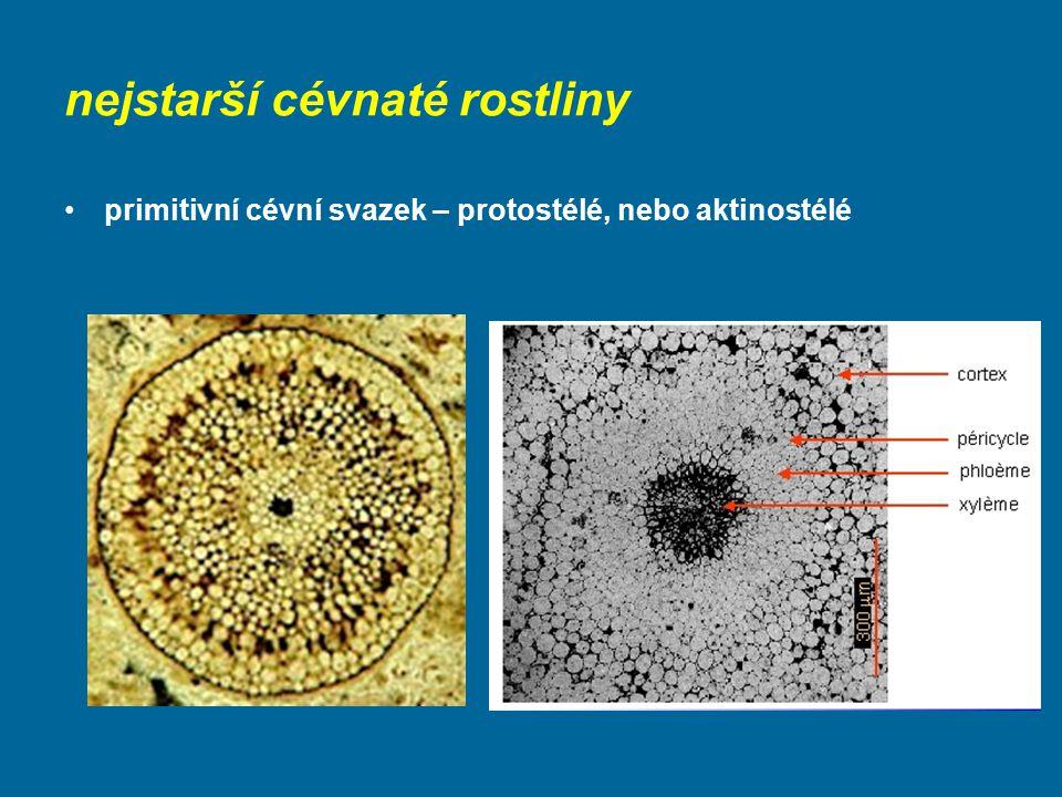 nejstarší cévnaté rostliny primitivní cévní svazek – protostélé, nebo aktinostélé