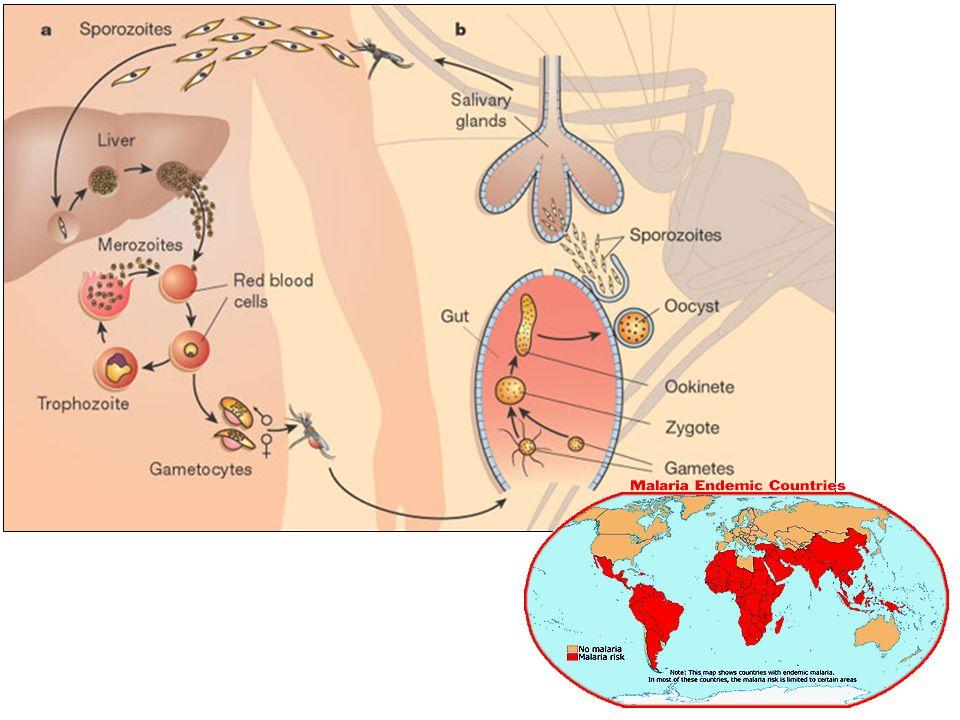 Energetický metabolismus život v parasitoforní vakuole = nutnost překonat množství membrán -> indukce transportéru NPP