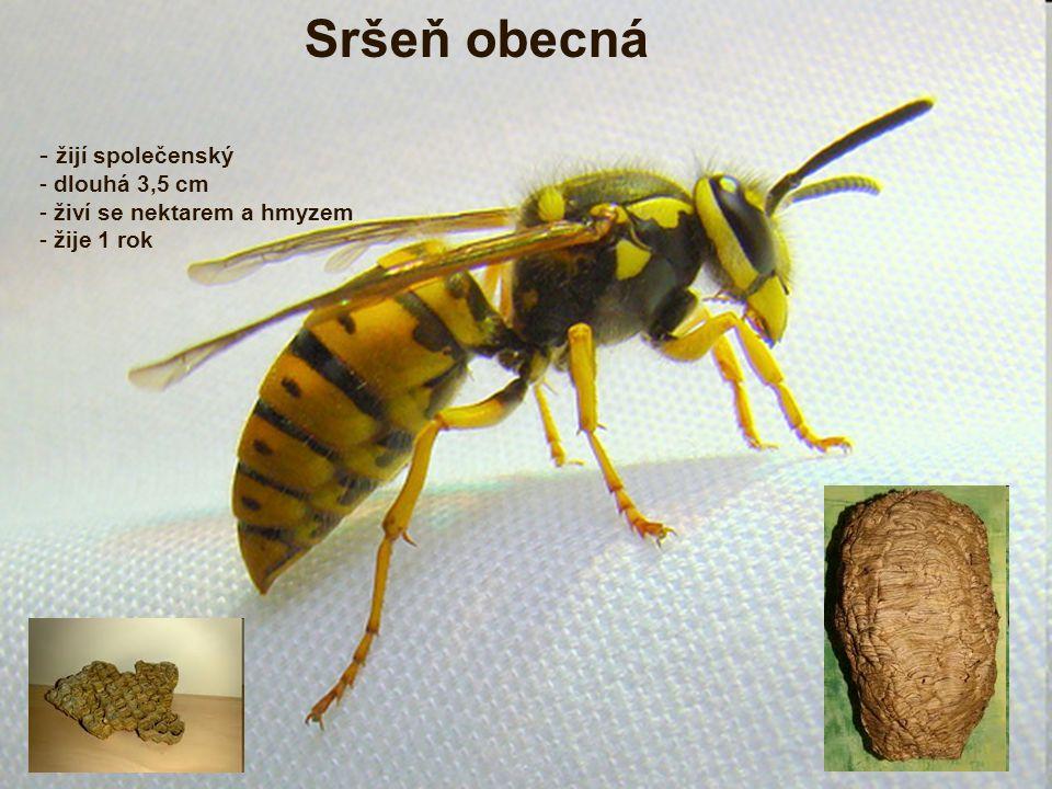 - žijí společenský - dlouhá 3,5 cm - živí se nektarem a hmyzem - žije 1 rok Sršeň obecná