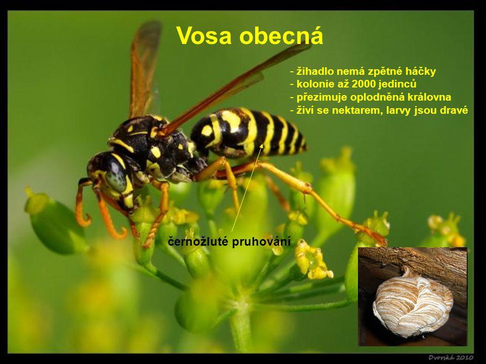 Vosa obecná - žihadlo nemá zpětné háčky - kolonie až 2000 jedinců - přezimuje oplodněná královna - živí se nektarem, larvy jsou dravé černožluté pruho